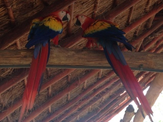 Macaws just chillin